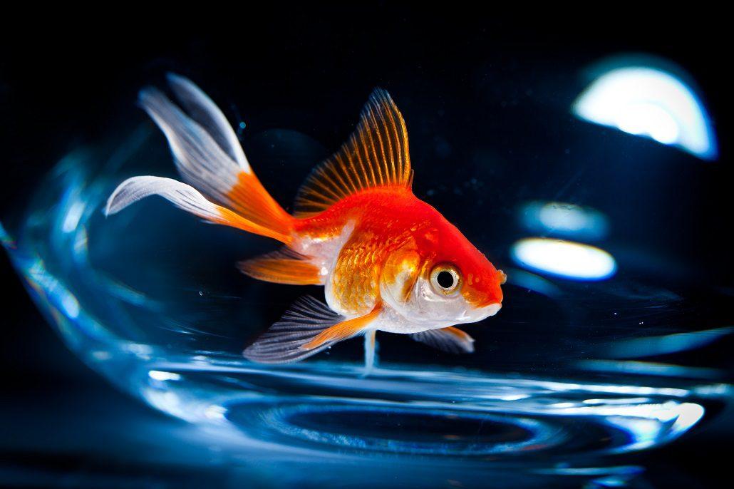 Baars communicatie wie kietelt de goudvis for Enfermedades de peces goldfish