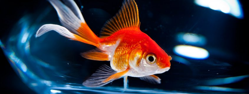 Wie kietelt de goudvis?
